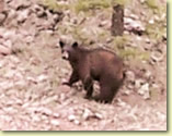 Bear Hunting, Rifle or Camera: Western New Mexico